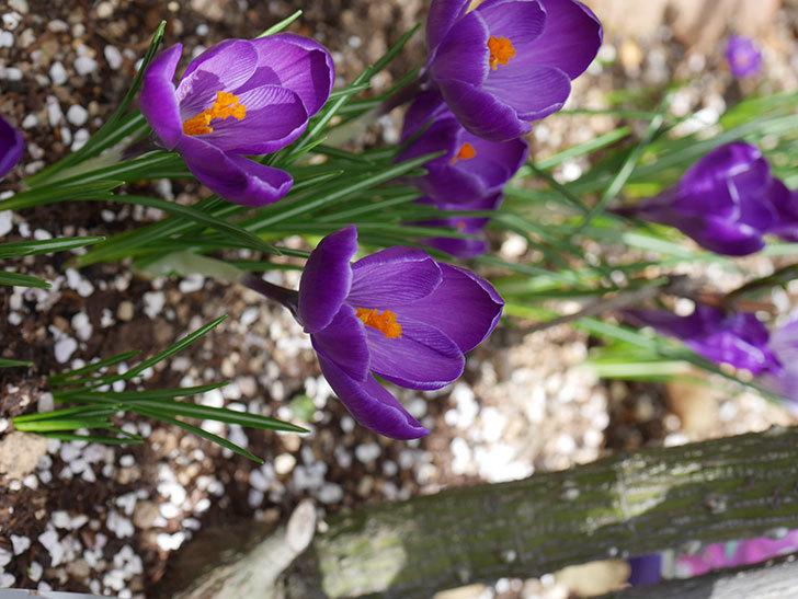 紫のクロッカスの花がたくさん咲いた。2021年-023.jpg