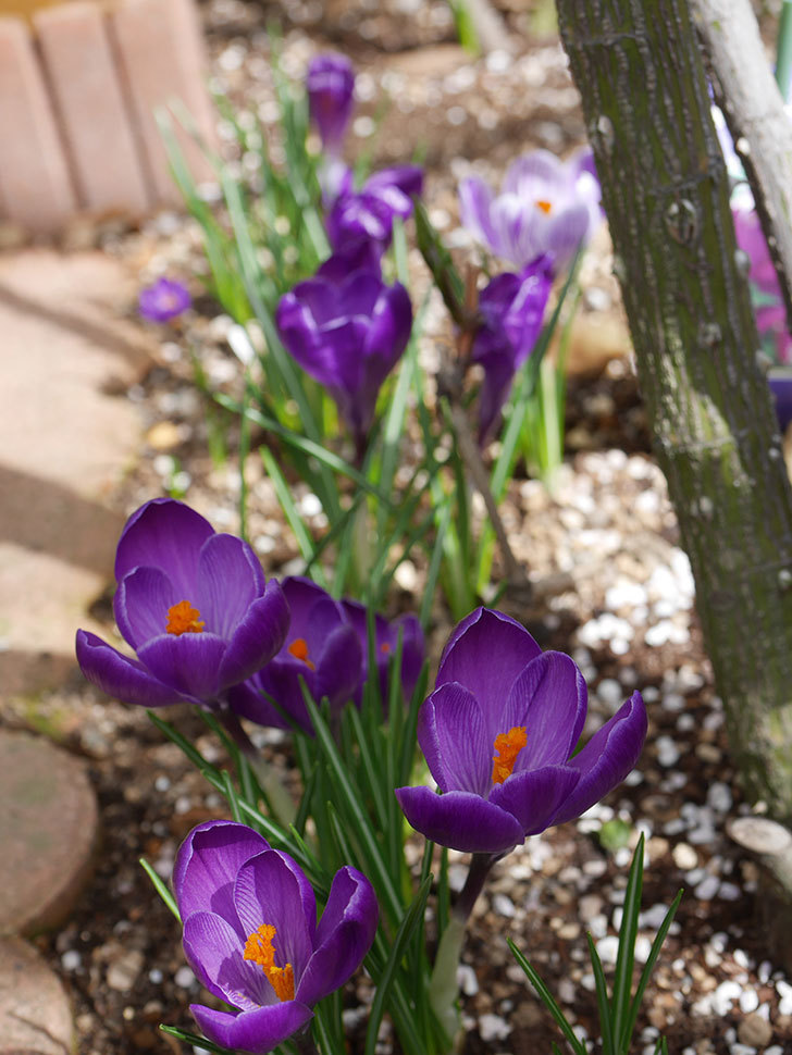 紫のクロッカスの花がたくさん咲いた。2021年-025.jpg