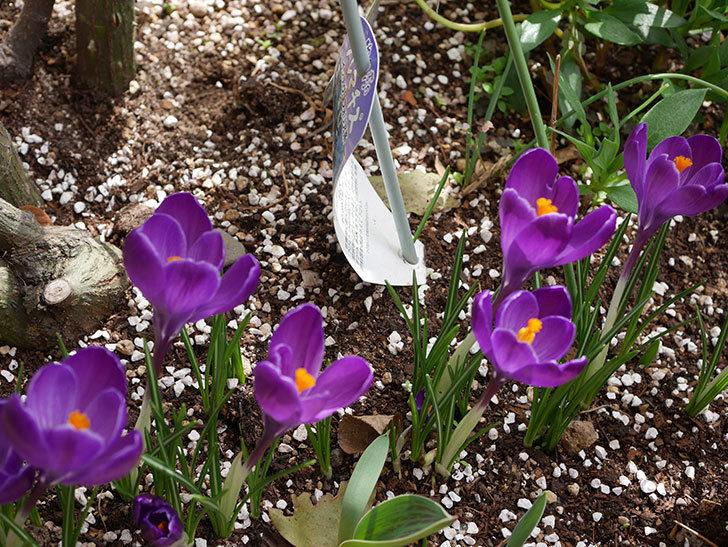 紫のクロッカスの花がたくさん咲いた。2021年-026.jpg