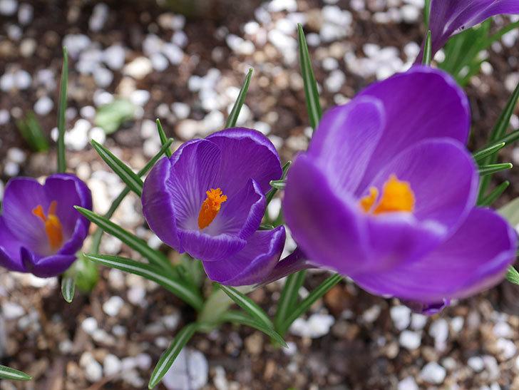 紫のクロッカスの花がたくさん咲いた。2021年-029.jpg