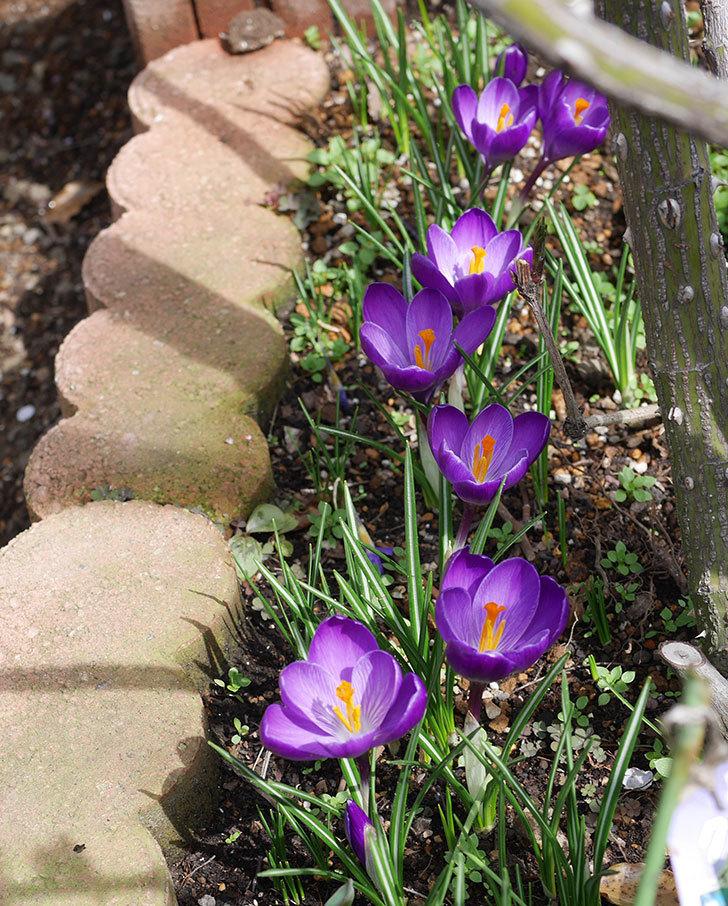 紫のクロッカスの花が咲いた。2020年-1.jpg