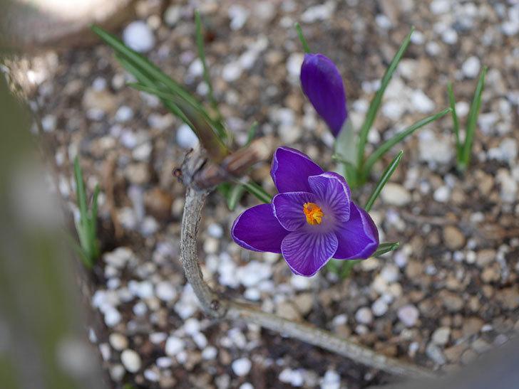 紫のクロッカスの花が咲いた。2021年-001.jpg