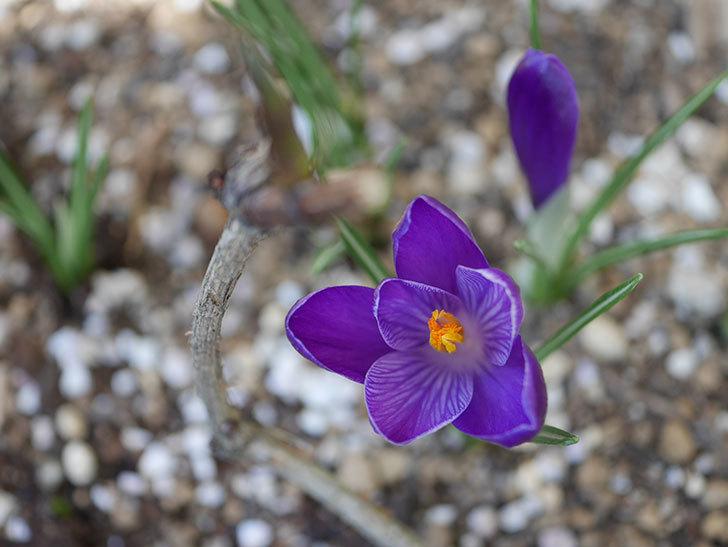 紫のクロッカスの花が咲いた。2021年-003.jpg