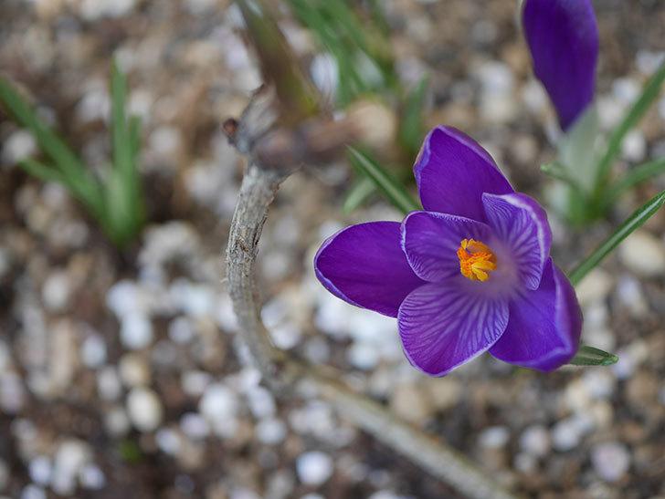 紫のクロッカスの花が咲いた。2021年-004.jpg