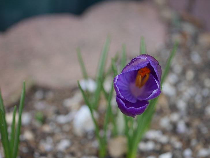 紫のクロッカスの花が咲いた。2021年-005.jpg
