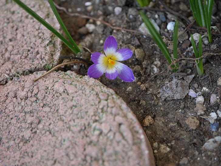 紫のクロッカスの花が咲いた。2021年-006.jpg