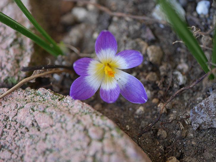 紫のクロッカスの花が咲いた。2021年-007.jpg