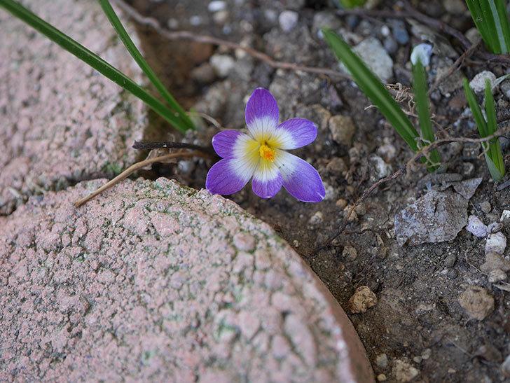 紫のクロッカスの花が咲いた。2021年-008.jpg