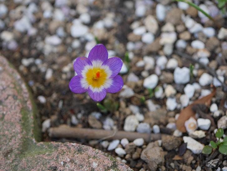 紫のクロッカスの花が咲いた。2021年-009.jpg