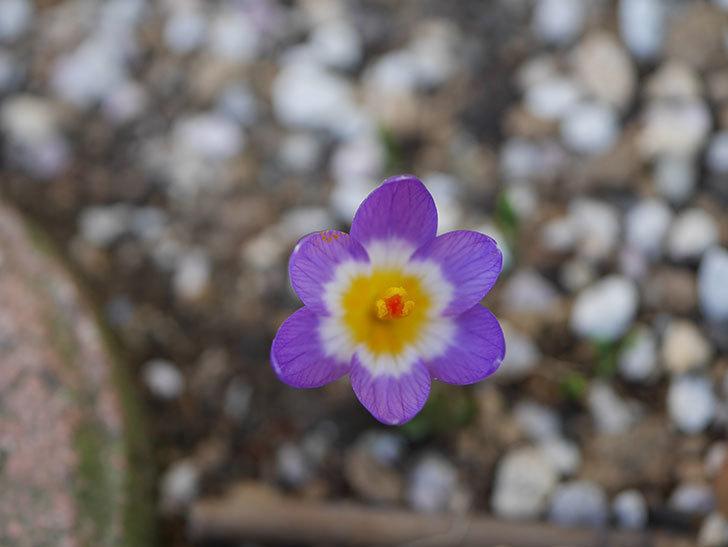 紫のクロッカスの花が咲いた。2021年-010.jpg