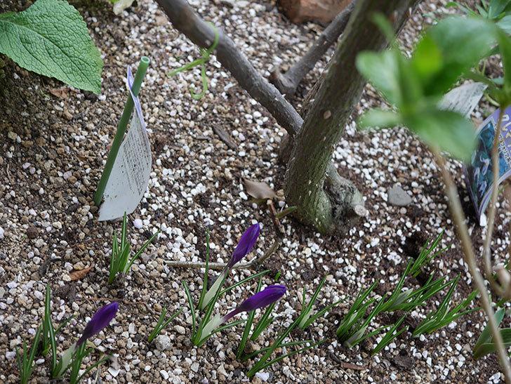 紫のクロッカスの花が咲いた。2021年-012.jpg
