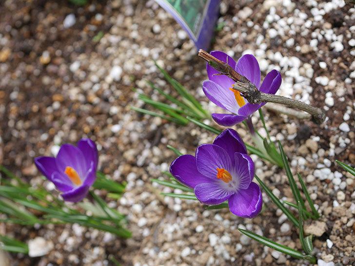 紫のクロッカスの花が咲いた。2021年-013.jpg
