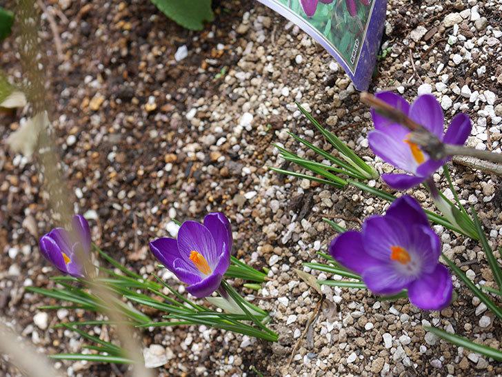 紫のクロッカスの花が咲いた。2021年-014.jpg
