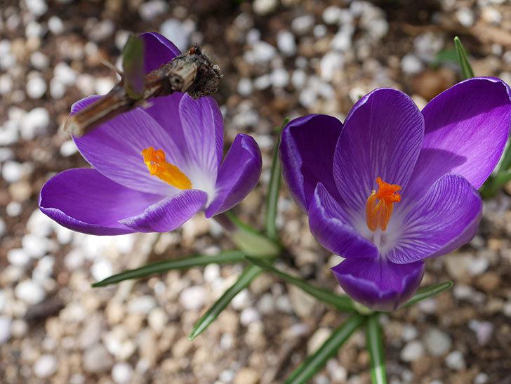 紫のクロッカスの花が咲いた。2021年-015.jpg