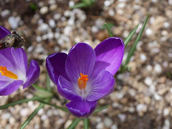 紫のクロッカスの花が咲いた。2021年-016.jpg