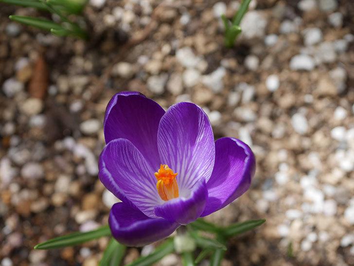 紫のクロッカスの花が咲いた。2021年-017.jpg