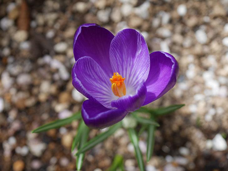 紫のクロッカスの花が咲いた。2021年-019.jpg