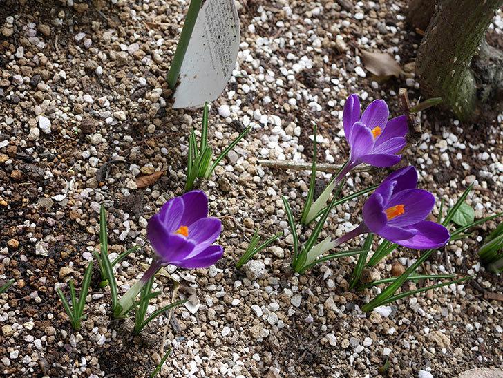 紫のクロッカスの花が咲いた。2021年-020.jpg