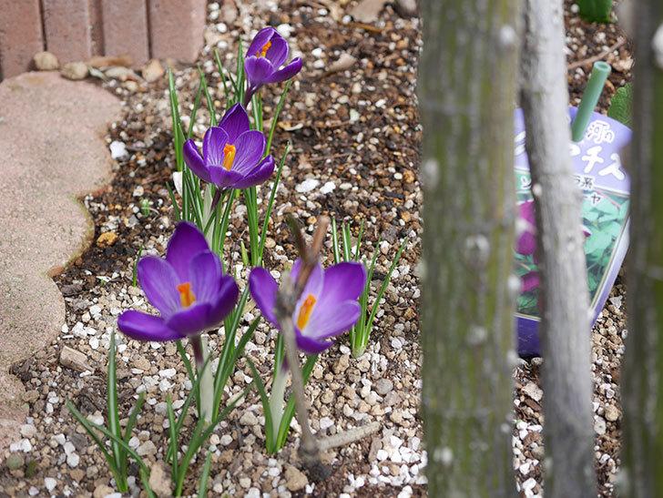 紫のクロッカスの花が咲いた。2021年-021.jpg