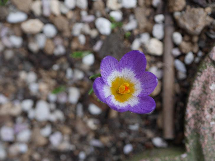 紫のクロッカスの花が咲いた。2021年-024.jpg