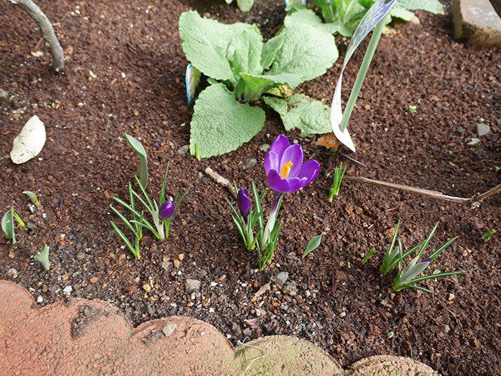 紫のクロッカスの花が咲きだした。2019年-3.jpg