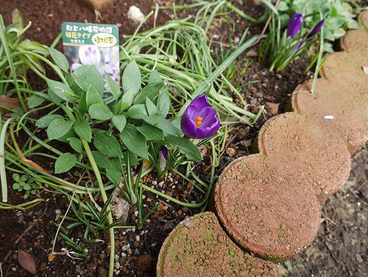 紫のクロッカスの花が咲きだした。2019年-4.jpg