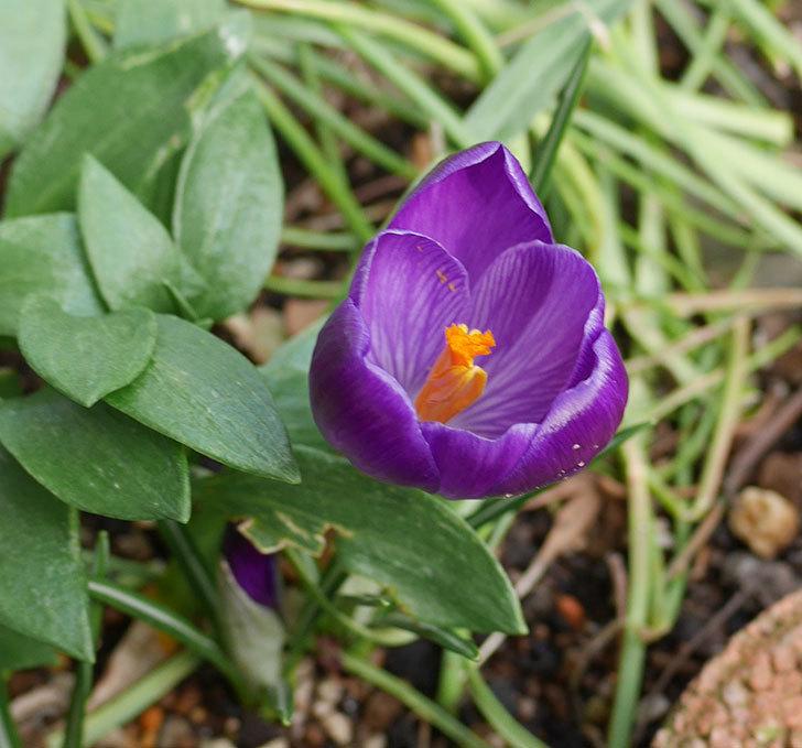 紫のクロッカスの花が咲きだした。2019年-6.jpg