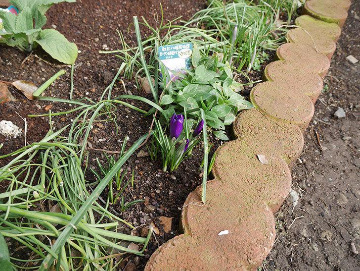 紫のクロッカスの花が咲きだした。2019年-7.jpg