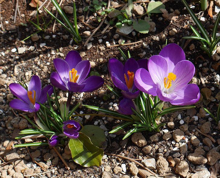 紫のクロッカスの花が増えてきた。2018年-1.jpg