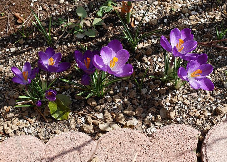 紫のクロッカスの花が増えてきた。2018年-2.jpg