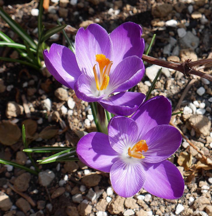 紫のクロッカスの花が増えてきた。2018年-3.jpg