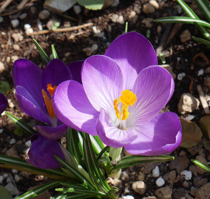 紫のクロッカスの花が増えてきた。2018年-4.jpg