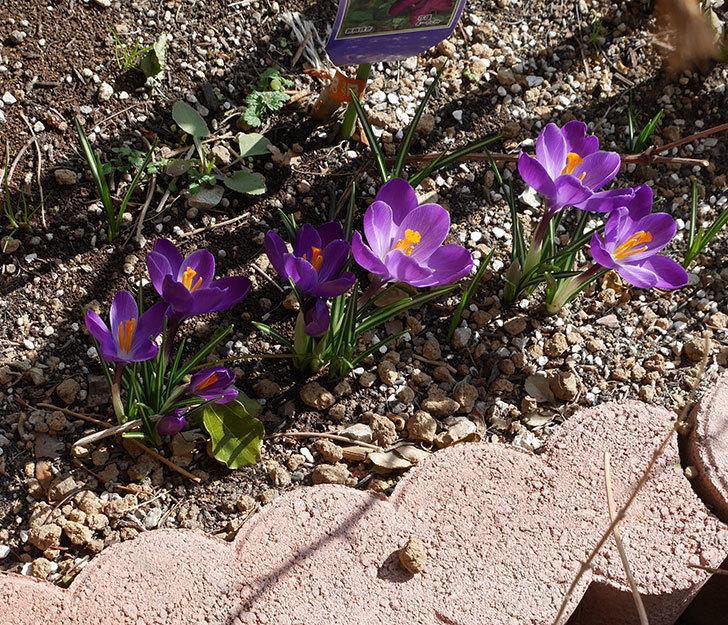 紫のクロッカスの花が増えてきた。2018年-5.jpg