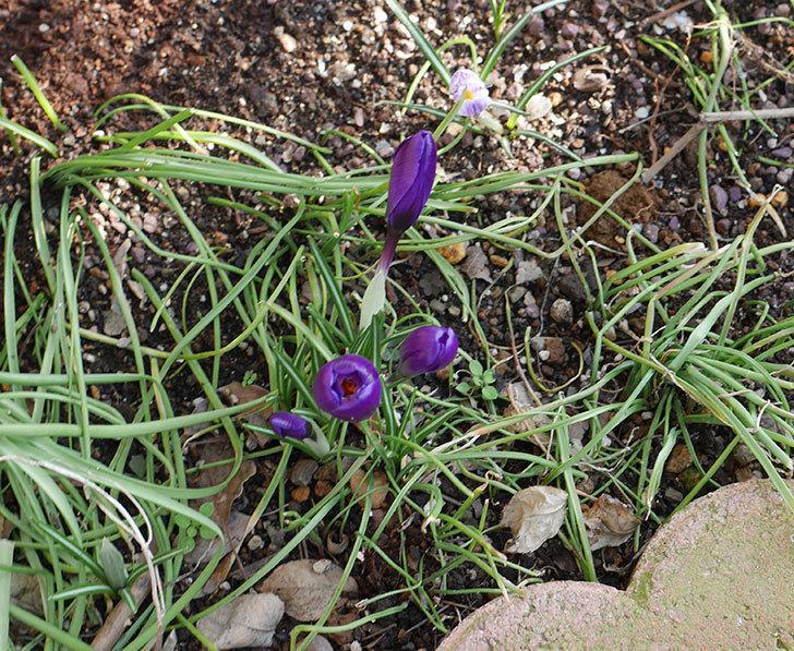 紫のクロッカスの花が増えてきた。2019年-5.jpg