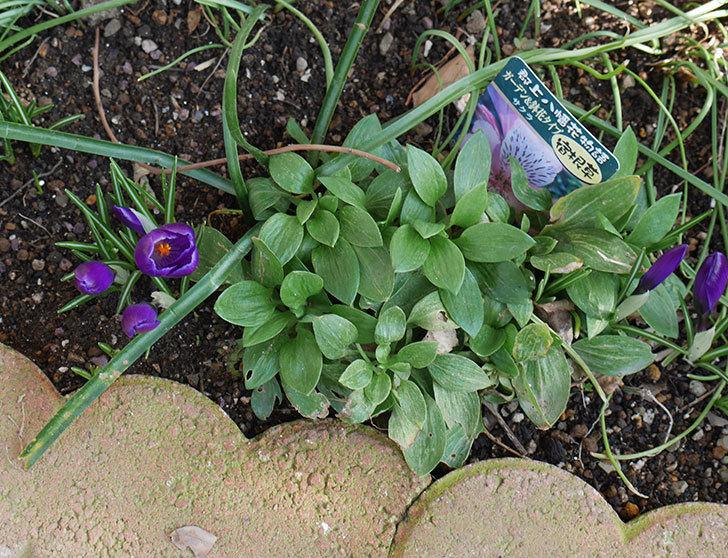 紫のクロッカスの花が増えてきた。2019年-6.jpg