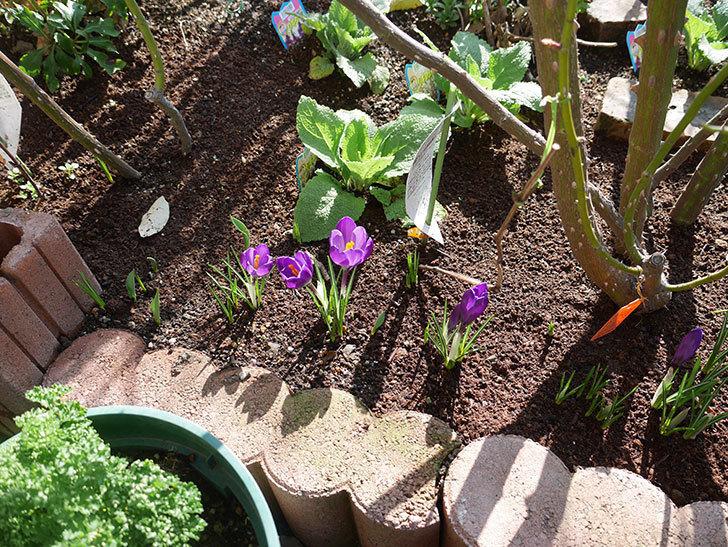紫のクロッカスの花が増えてきた。2019年-9.jpg