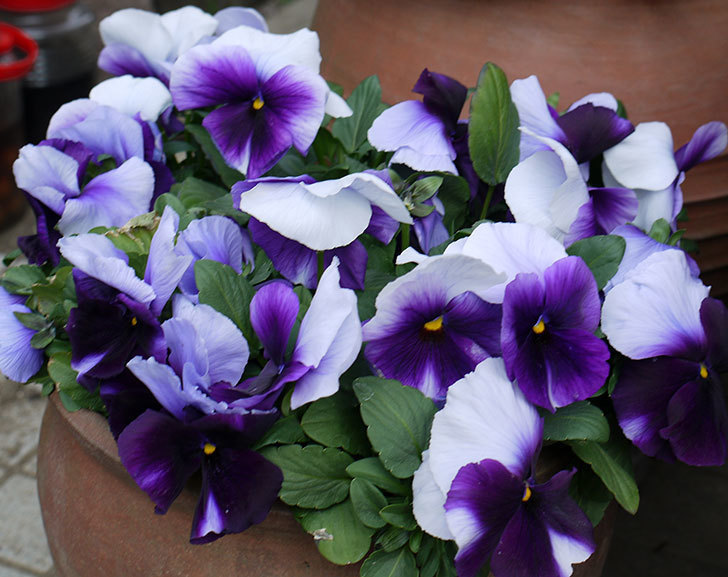 紫のコンビのパンジーの花が凄くなった。2017年-3.jpg