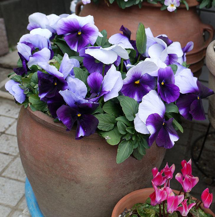 紫のコンビのパンジーの花が凄くなった。2017年-4.jpg
