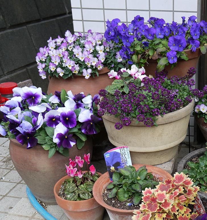 紫のコンビのパンジーの花が凄くなった。2017年-6.jpg