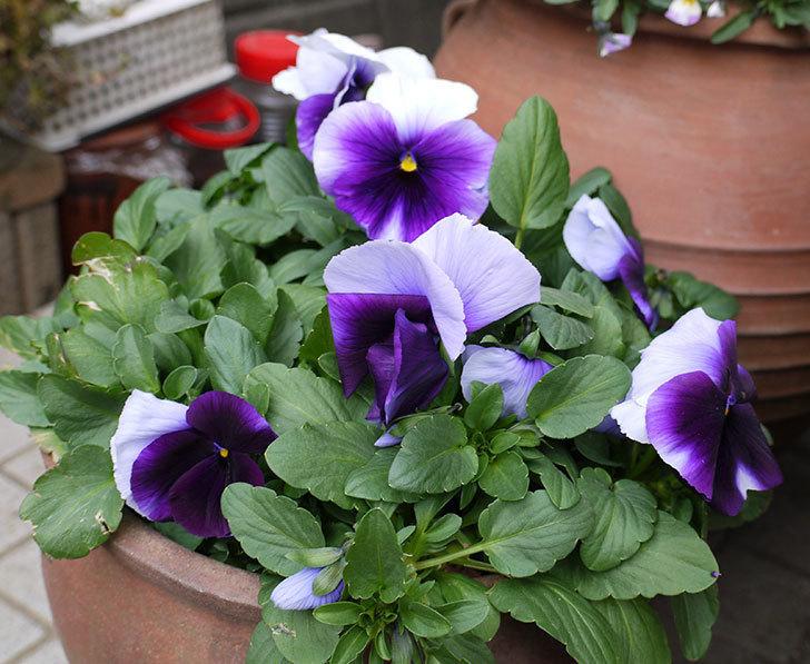 紫のコンビのパンジーの花が増えてきた。2017年-1.jpg