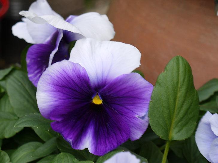 紫のコンビのパンジーの花が増えてきた。2017年-2.jpg