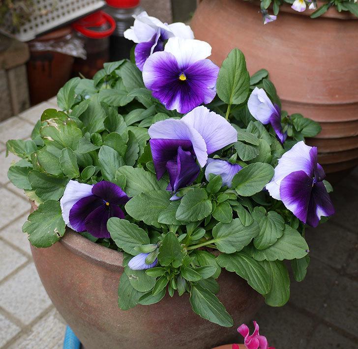 紫のコンビのパンジーの花が増えてきた。2017年-3.jpg