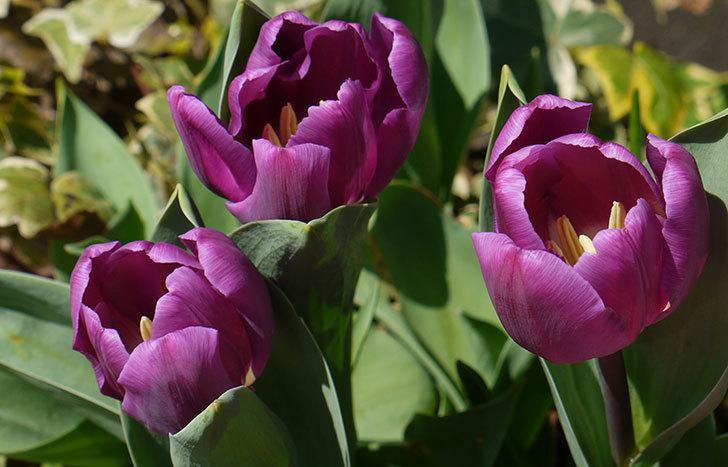 紫のチューリップが咲いた2.jpg