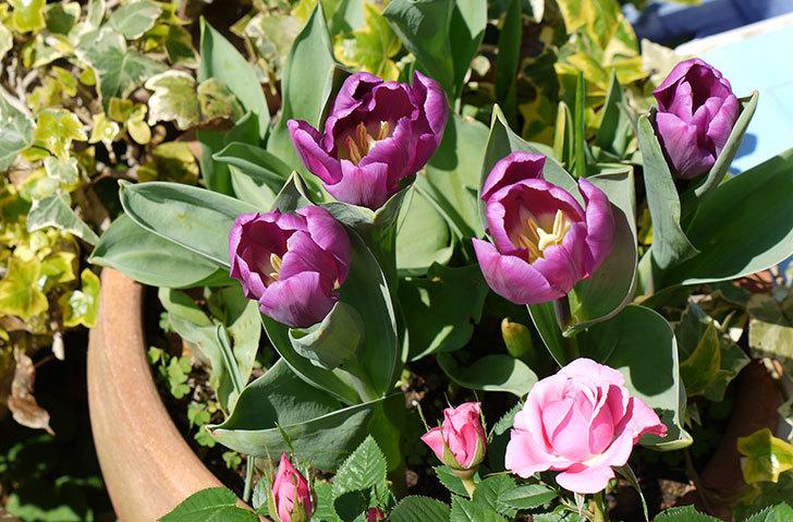 紫のチューリップが咲いた3.jpg