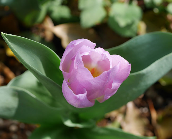 紫のチューリップが咲いた。2020年-2.jpg