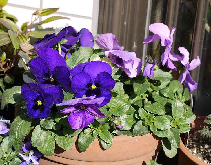 紫のパンジーが綺麗に咲いた1.jpg