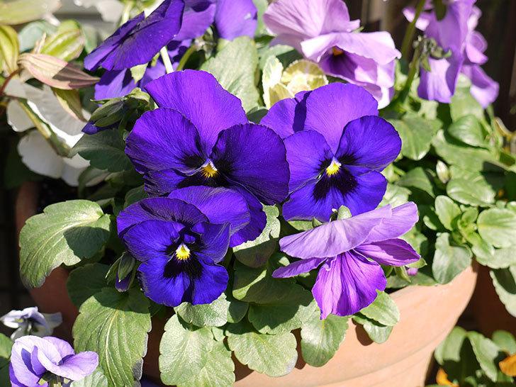 紫のパンジーが綺麗に咲いた2.jpg