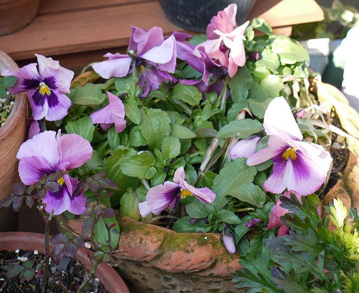 紫のパンジーが綺麗に咲いた3.jpg