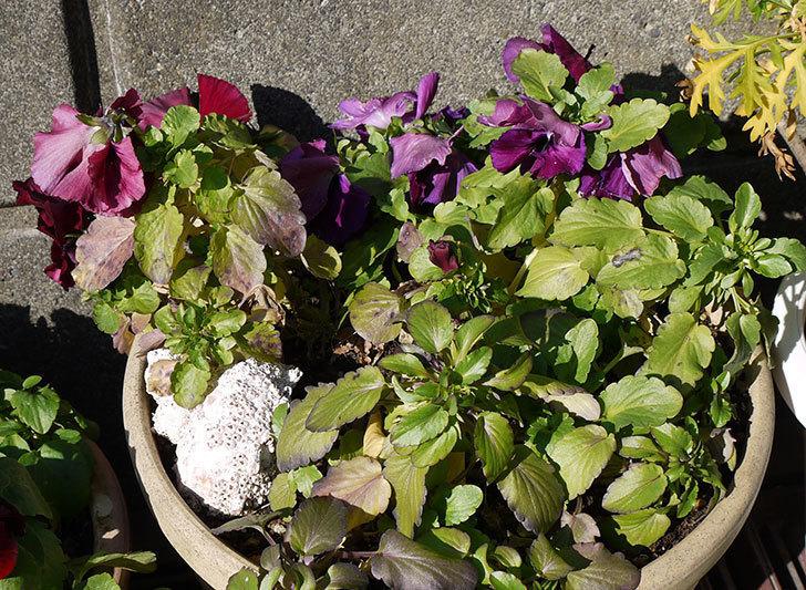 紫のパンジーが綺麗に咲いた4.jpg