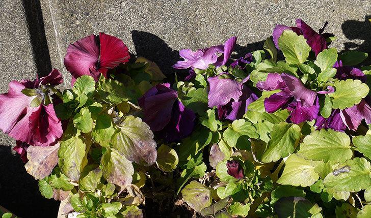 紫のパンジーが綺麗に咲いた5.jpg